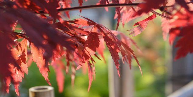 drzewa i krzewy o barwnych liściach: klon