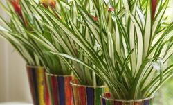Kwiaty domowe na parapet. Kwiaty doniczkowe zielone i kolorowe- 15 propozycji [GALERIA ZDJĘĆ]