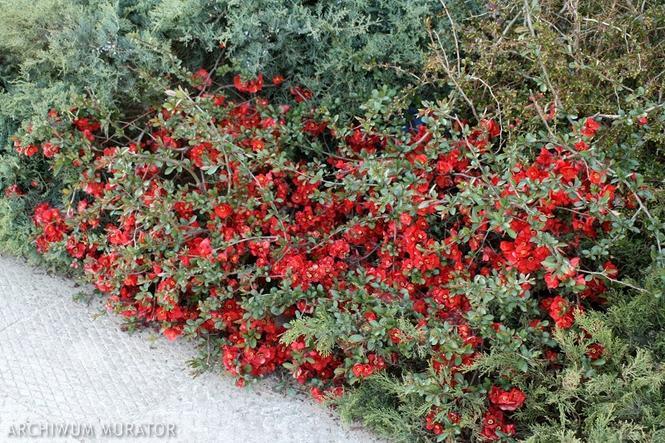 Czerwone kwiaty do ogrodu: pigwowiec pośredni
