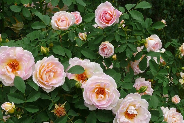 Wiosenne cięcie róż wielkokwiatowych, rabatowych, pnących i piennych. PORADNIK